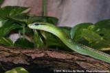 Red-Tailed Green RatsnakeGonyosoma oxycephalum