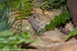TuataraSphenodon punctatus