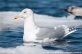 Glaucous-Winged GullLarus glaucescens