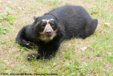 Spectacled BearTremarctos ornatus