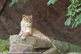 African LionPanthera leo ssp.