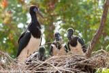 Abdim's Stork  (Abdims Ooievaar)