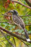 African Grey HornbillTockus nasutus ssp.