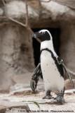 African PenguinSpheniscus demersus