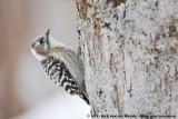Japanese Pygmy WoodpeckerYungipicus kizuki seebohmi