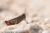 Eurasian Pincer GrasshopperCalliptamus barbarus barbarus