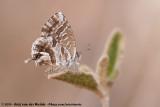 Geranium BronzeCacyreus marshalli