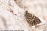 Corsican Wall BrownLasiommata paramegaera