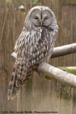 Ural OwlStrix uralensis ssp.