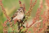 Common Reed BuntingEmberiza schoeniclus schoeniclus