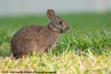 Marsh RabbitSylvilagus palustris paludicola