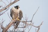 Peregrine FalconFalco peregrinus anatum