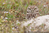 Burrowing OwlAthene cunicularia floridana