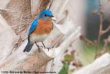 Eastern BluebirdSialia sialis sialis