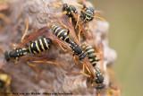 (Paper Wasp)Polistes gallicus