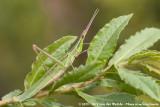 Cone-Headed GrasshopperAcrida ungarica mediterranea
