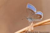 Common BluePolyommatus icarus icarus