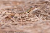 Italian Wall LizardPodarcis siculus campestris