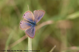 Lang's Short-Tailed BlueLeptotes pirithous pirithous