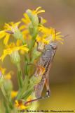 Lamenting GrasshopperEyprepocnemis plorans plorans