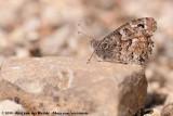 Southern GraylingHipparchia aristaeus aristaeus