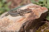 Tyrrhenian Wall LizardPodarcis tiliguerta tiliguerta