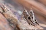 Common Maquis GrasshopperPezotettix giornae