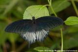 Sulawesi Blue MormonPapilio ascalaphus ssp.