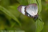 African SwallowtailPapilio dardanus ssp.