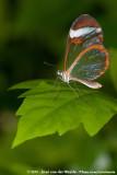 Glasswing ButterflyGreta oto