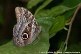 Forest Giant OwlCaligo eurilochus sulanus