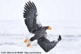 Steller's Sea EagleHaliaeetus pelagicus
