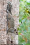 Eastern Grey SquirrelSciurus carolinensis extimus