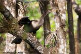 AnhingaAnhinga anhinga leucogaster