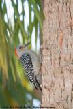 Red-Bellied WoodpeckerMelanerpes carolinus