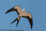 Swallow-Tailed KiteElanoides forficatus forficatus
