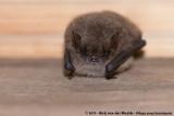 Geoffroy's BatMyotis emarginatus emarginatus