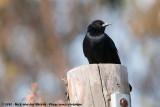 Austral BlackbirdCuraeus curaeus curaeus