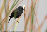 Yellow-Winged BlackbirdAgelasticus thilius thilius