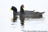 Red-Fronted CootFulica rufifrons