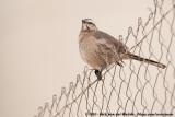 Chilean MockingbirdMimus thenca