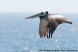 Peruvian PelicanPelecanus thagus