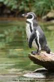 Humboldt PenguinSpheniscus humboldti