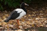 Magpie GooseAnseranas semipalmata