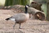 Cackling GooseBranta hutchinsii minima