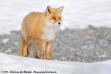 Sakhalin FoxVulpes vulpes schrencki