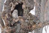 Ural OwlStrix uralensis japonica