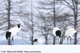 Cranes  (Kraanvogels)