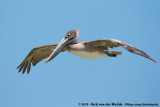 Brown PelicanPelecanus occidentalis carolinensis