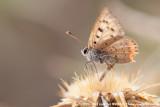 Small CopperLycaena phlaeas phlaeas